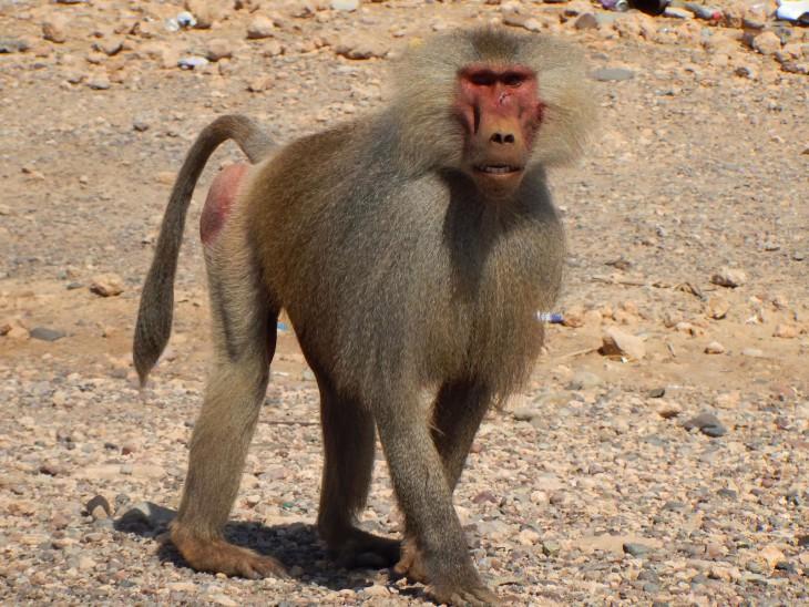 Coloriage babouin gratuit imprimer - Dessin de babouin ...