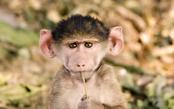 Bebe babouin