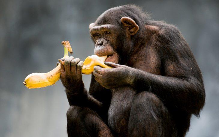 Gorille banane