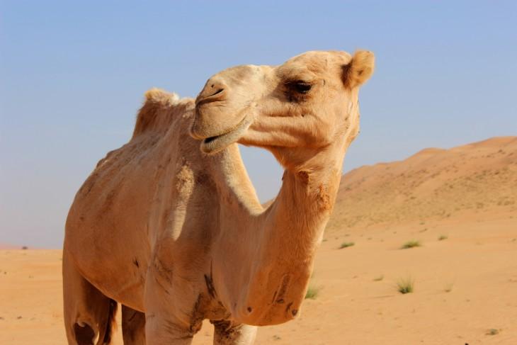 Dromadaire desert