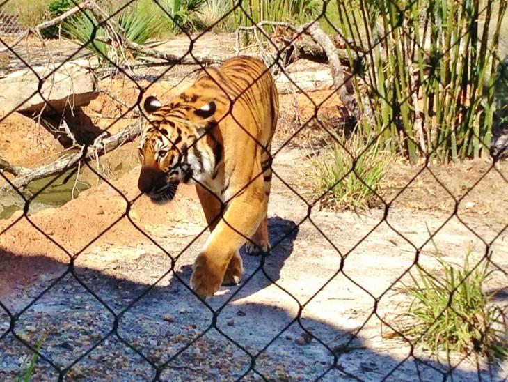 Coloriage tigre Zoo à imprimer