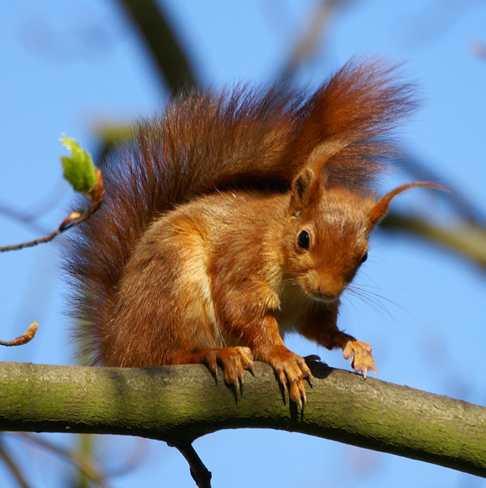 Coloriage ecureuil imprimer - Coloriage d ecureuil ...