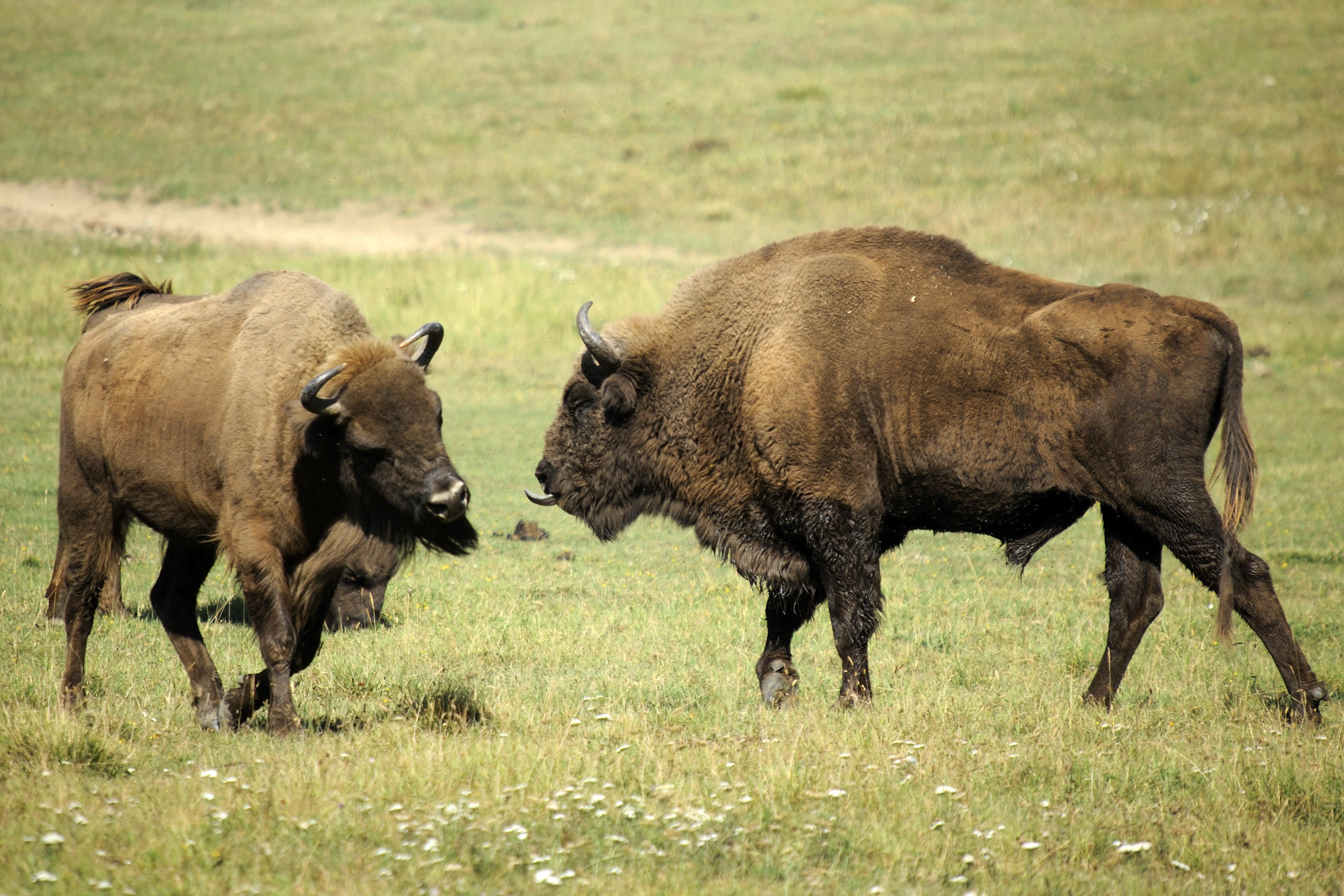Coloriage bison imprimer - Photo de bison a imprimer ...