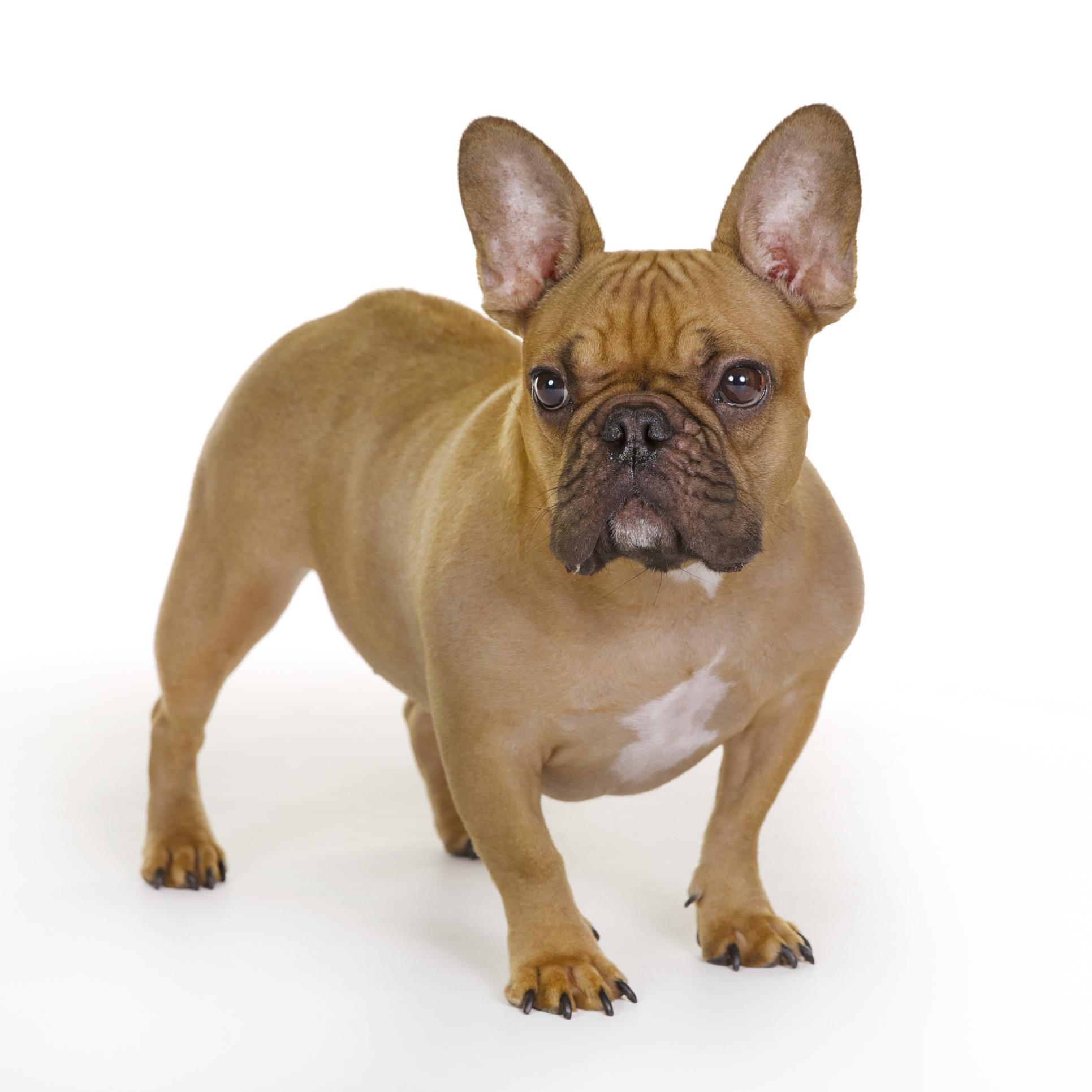 Coloriage chien bouledogue imprimer - Image de chien a imprimer ...
