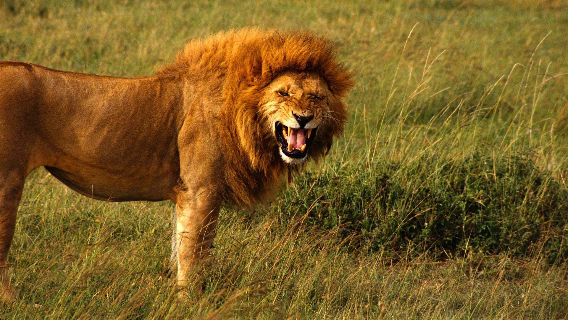 Coloriage lion roi de la jungle imprimer - Images de lions a imprimer ...