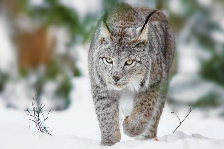 Marvelous Jeux D Escargot Gratuit #7: Lynx-730x487.jpg