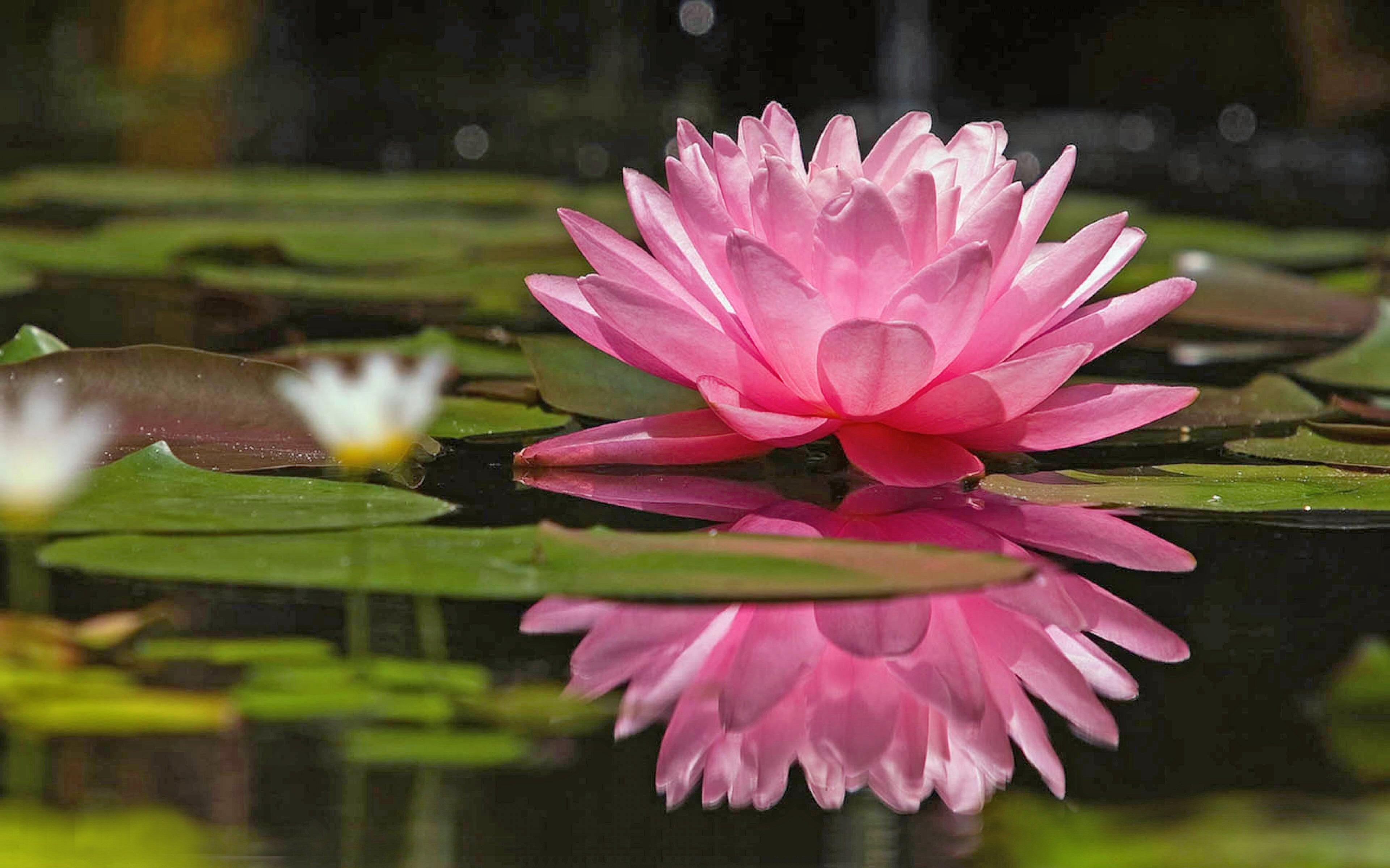 Coloriage Fleur De Nenuphar.Coloriage Nenuphar A Imprimer
