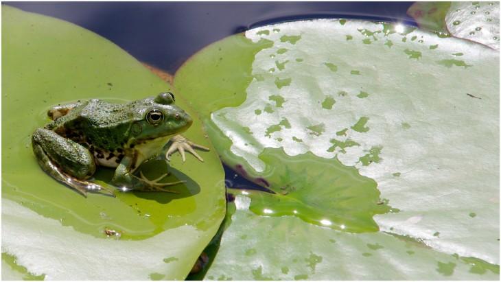 Nenuphar grenouille