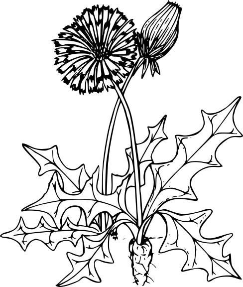Coloriage pissenlit imprimer - Dessin fleur pissenlit ...