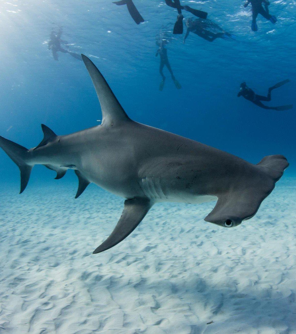 Coloriage requin marteau à imprimer