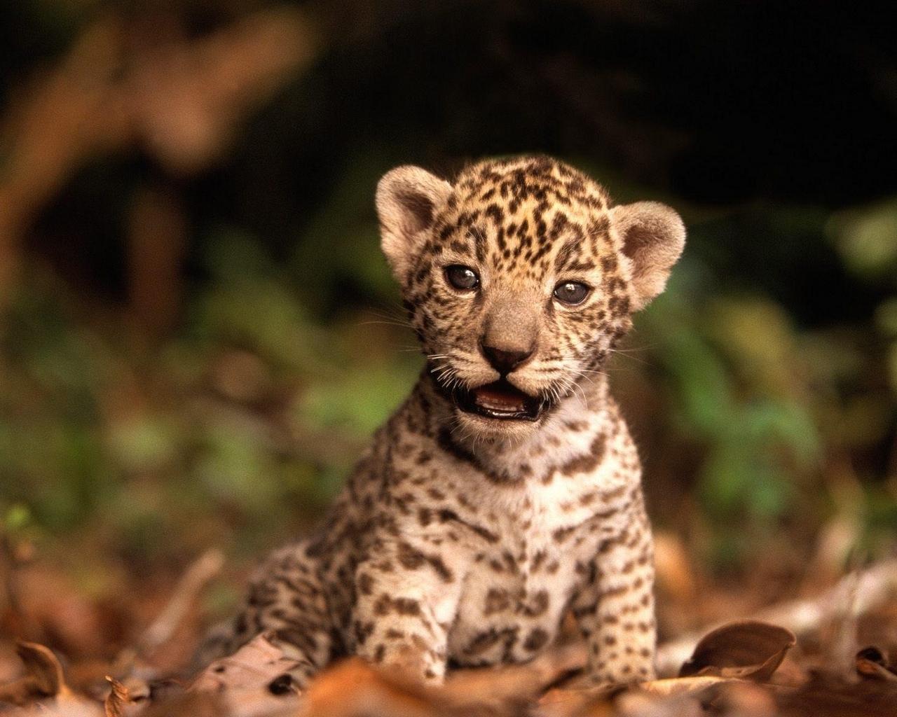 Coloriage Bebe Leopard.Image Leopard A Imprimer Colorier Les Enfants Marnfozine Com