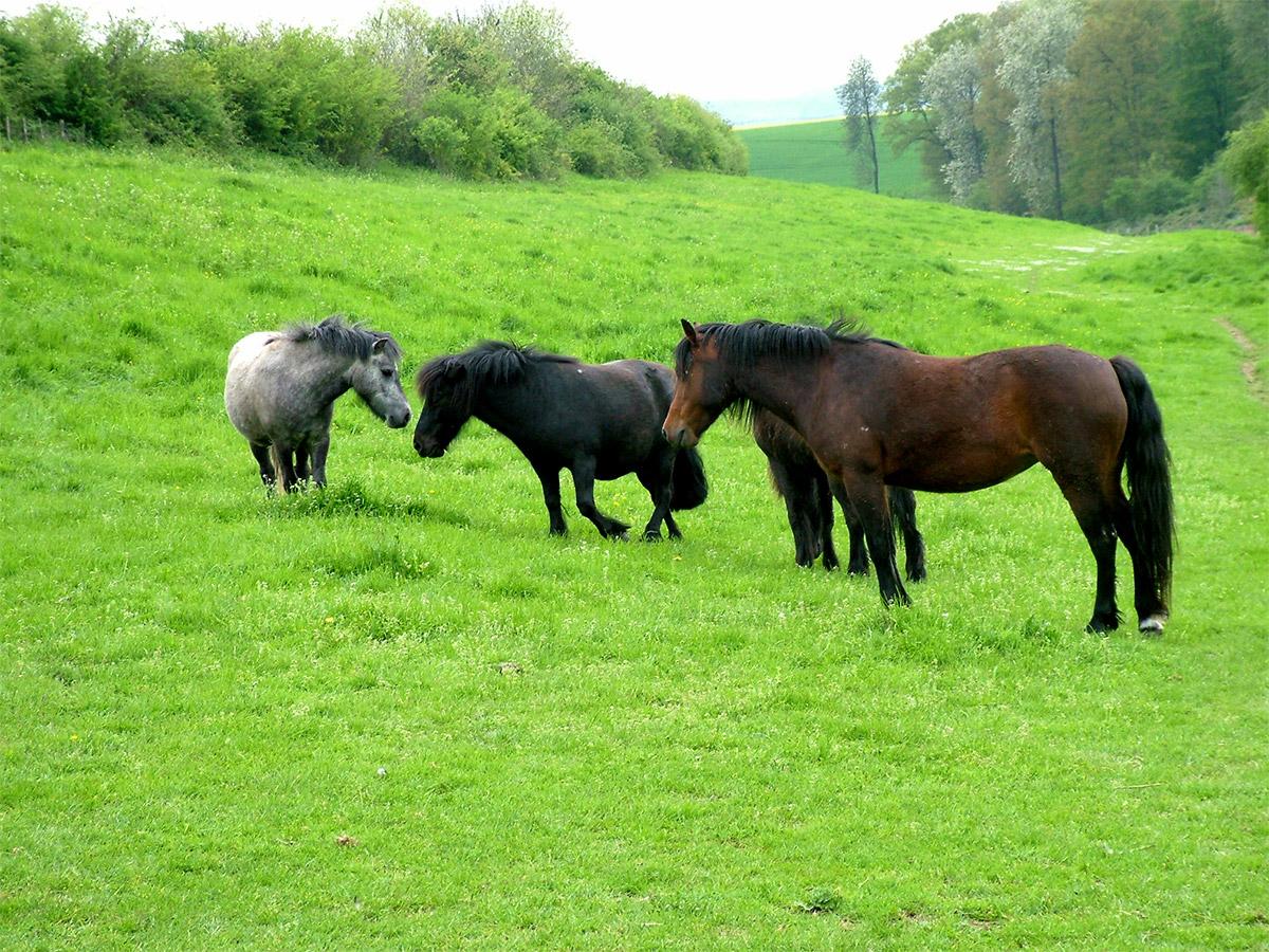 Bien connu Coloriage chevaux et poney à imprimer PF18