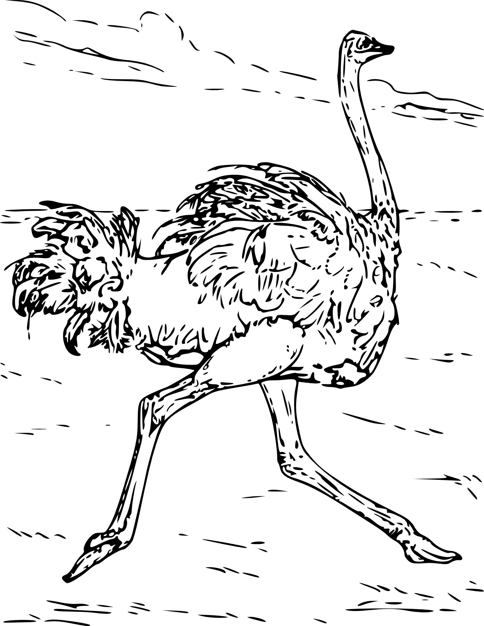 Coloriage autruche court imprimer - Autruche dessin ...
