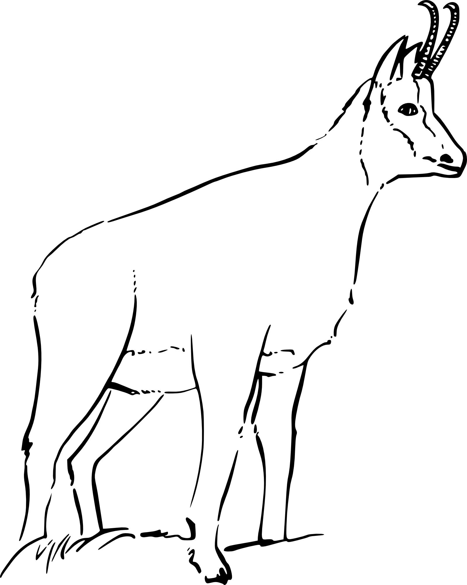 Coloriage chamois