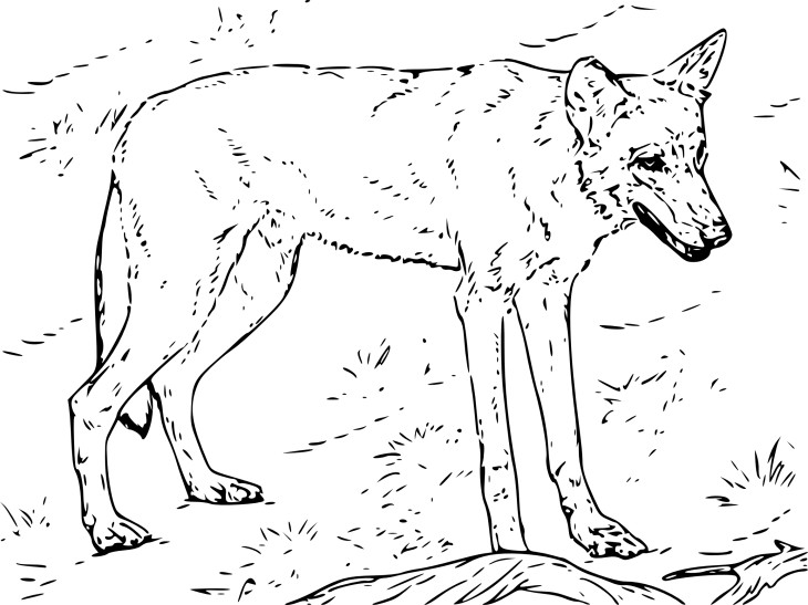 Coloriage loup rouge