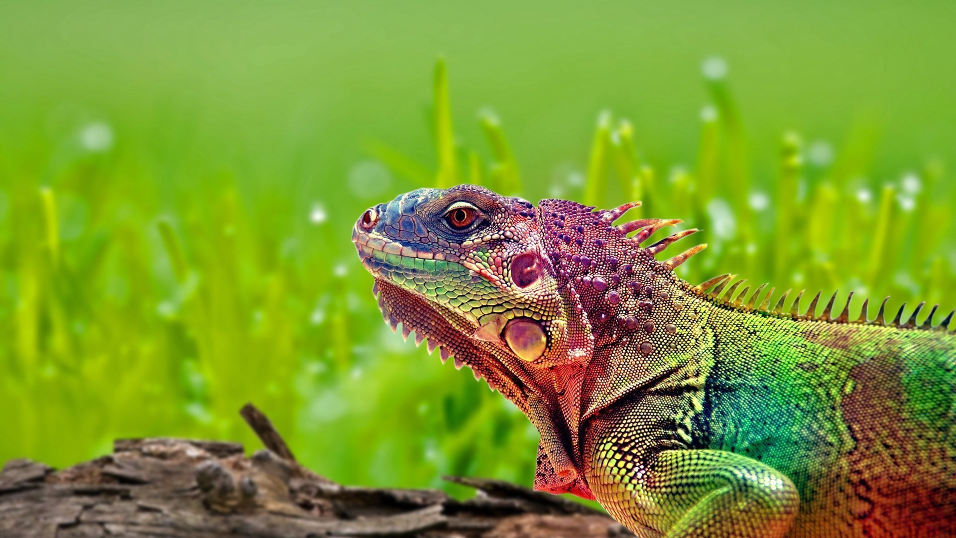 Coloriage iguane imprimer - Coloriage iguane ...