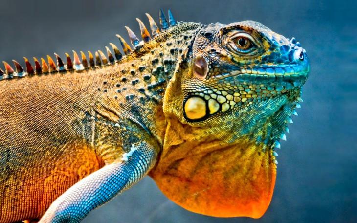 Iguane fond