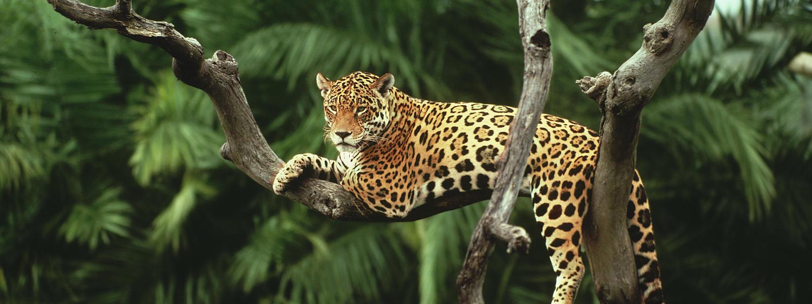 coloriage jaguar imprimer. Black Bedroom Furniture Sets. Home Design Ideas