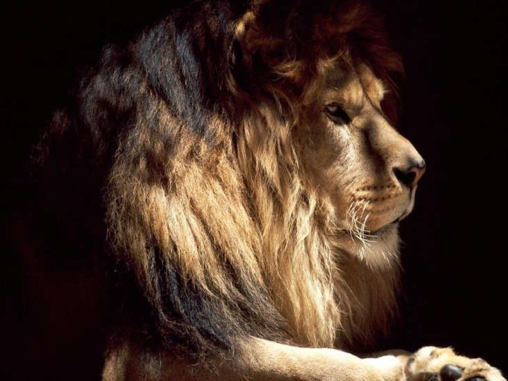 Animaux sauvages lion