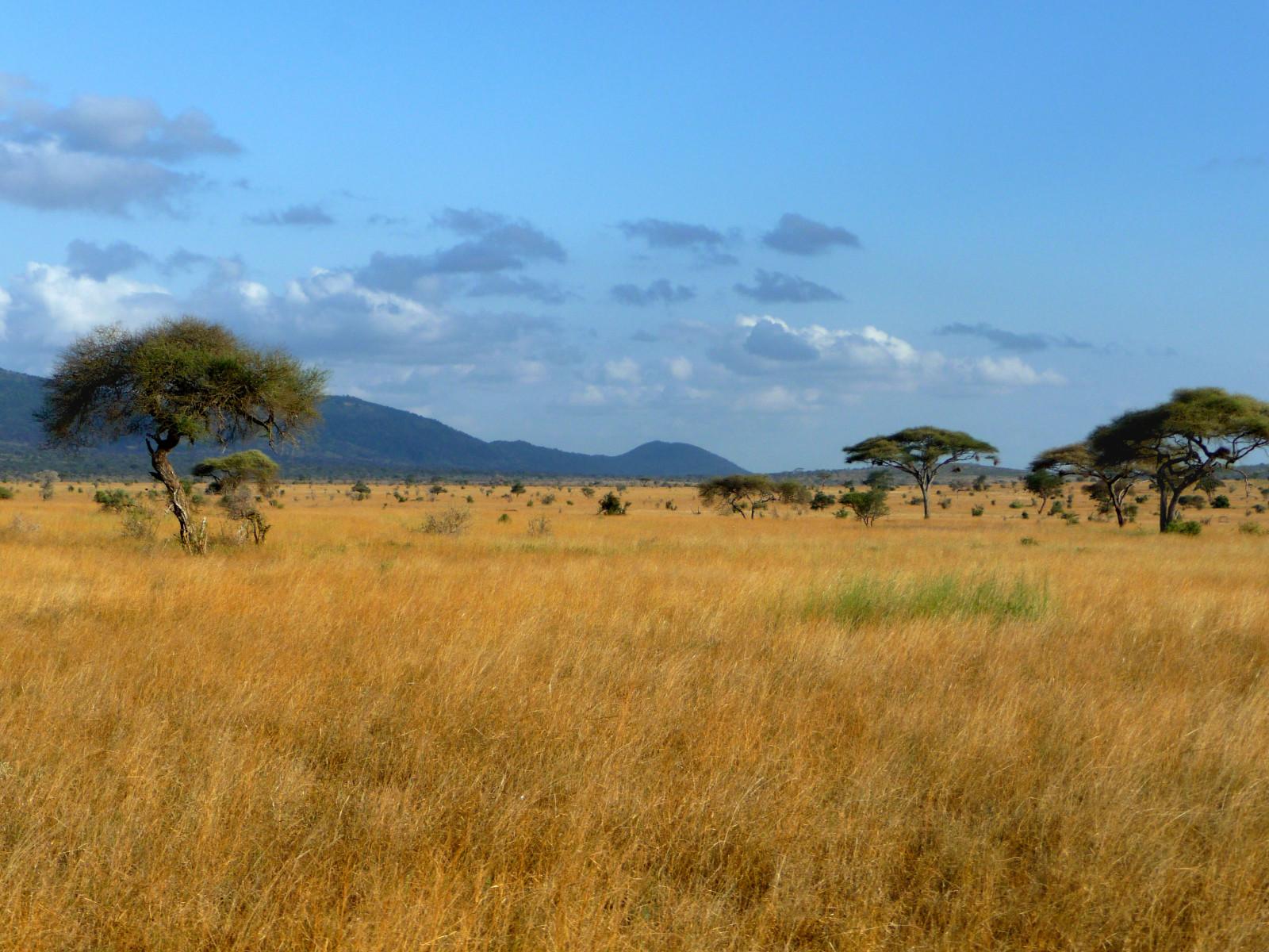 Coloriage paysage savane imprimer - Felin de la savane ...
