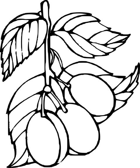 Prune dessin