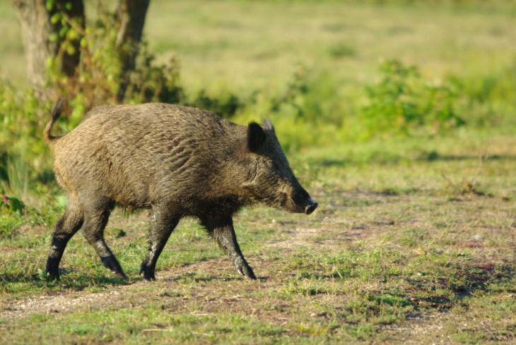 Sanglier animal