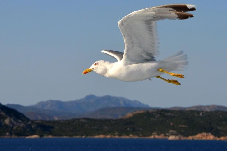 Oiseau Goeland