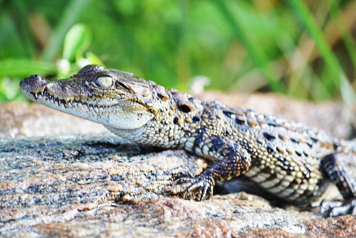 Bebe crocodile