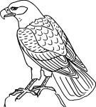 Coloriage Oiseau buse