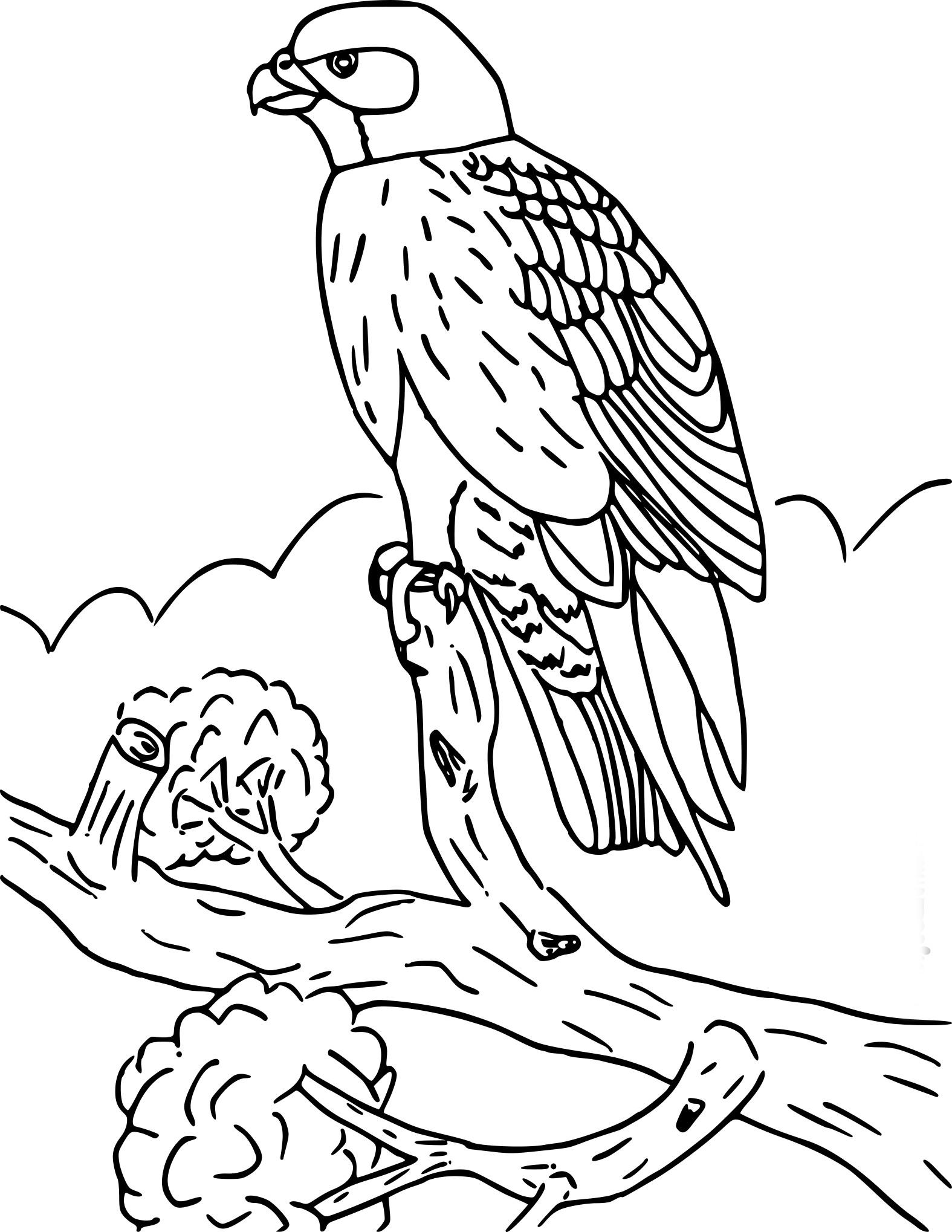 Faucon coloriage
