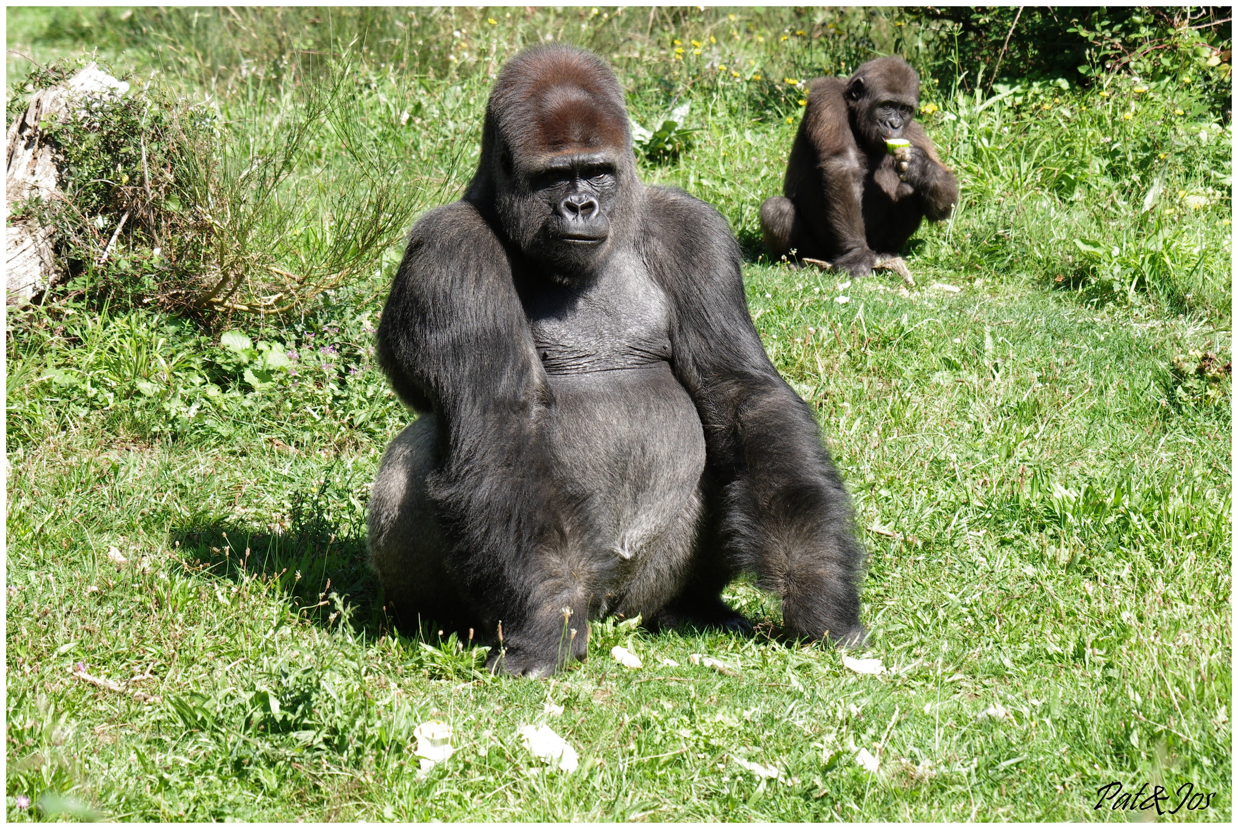 Coloriage Gorille A Imprimer