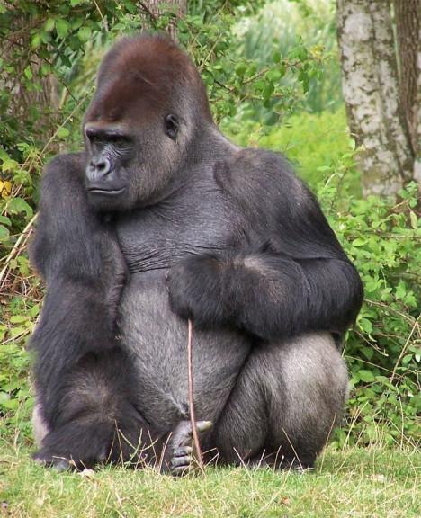 Gorille dans une foret