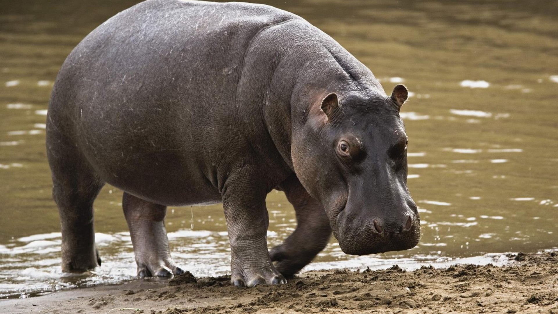 Coloriage hippopotame et dessin imprimer - Dessin d hippopotame ...