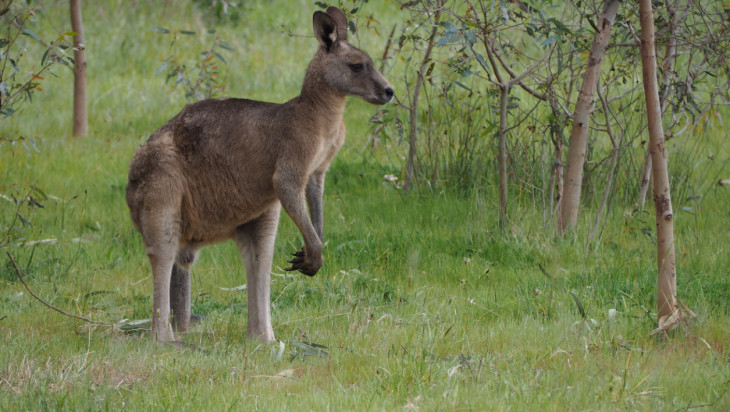 Kangourou animal