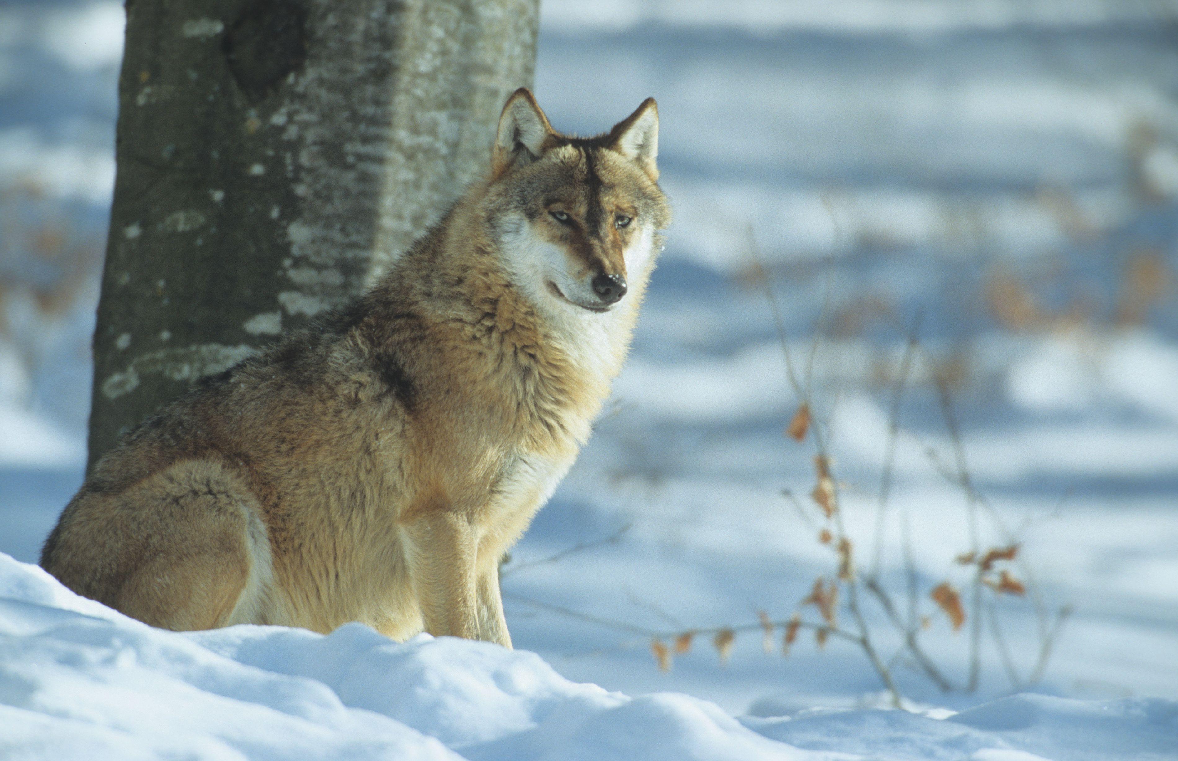 Coloriage loup imprimer - Loup a imprimer ...