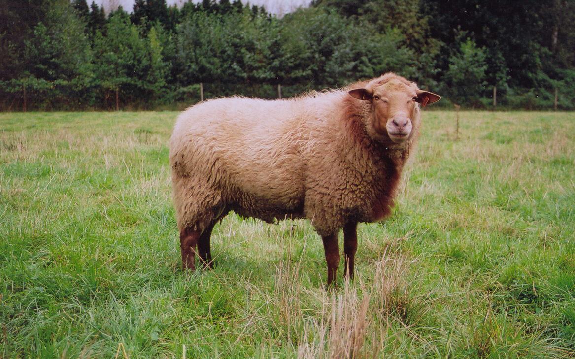 Coloriage mouton imprimer - Photo de mouton a imprimer ...