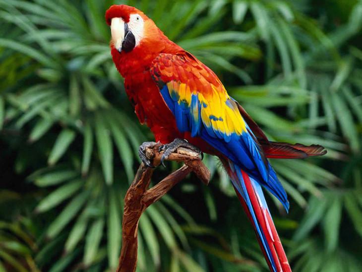 Oiseau Ara