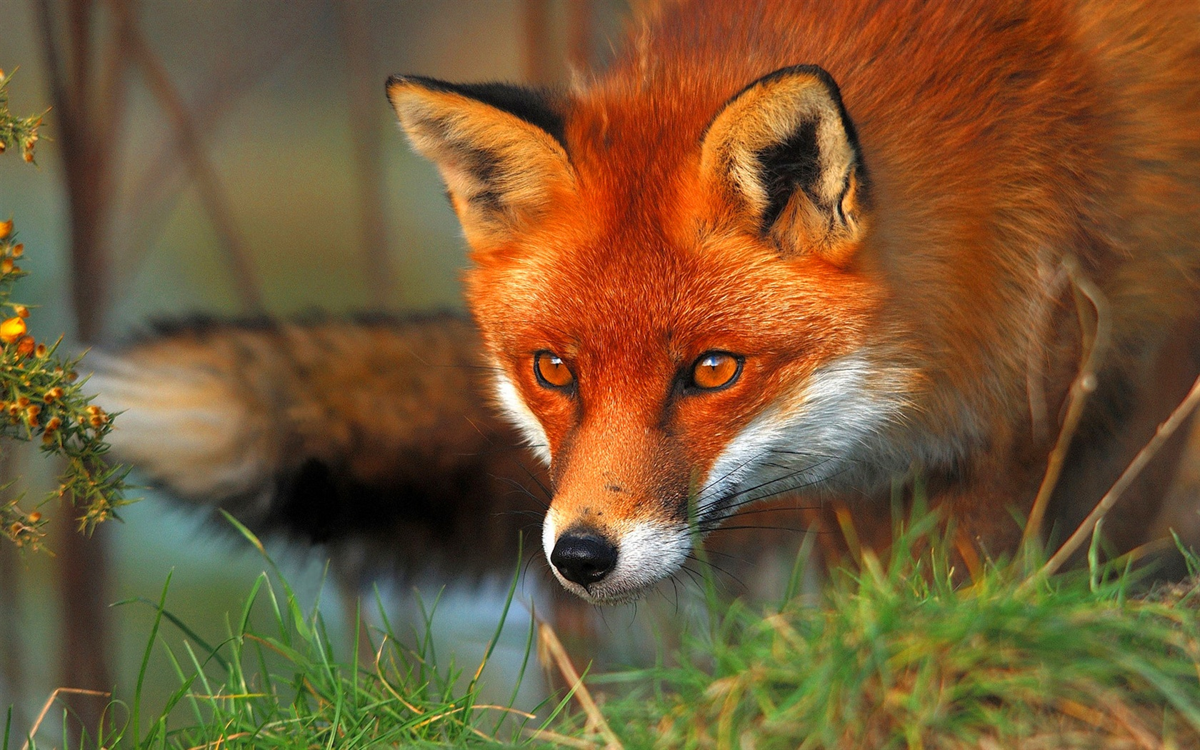 Coloriage renard à imprimer