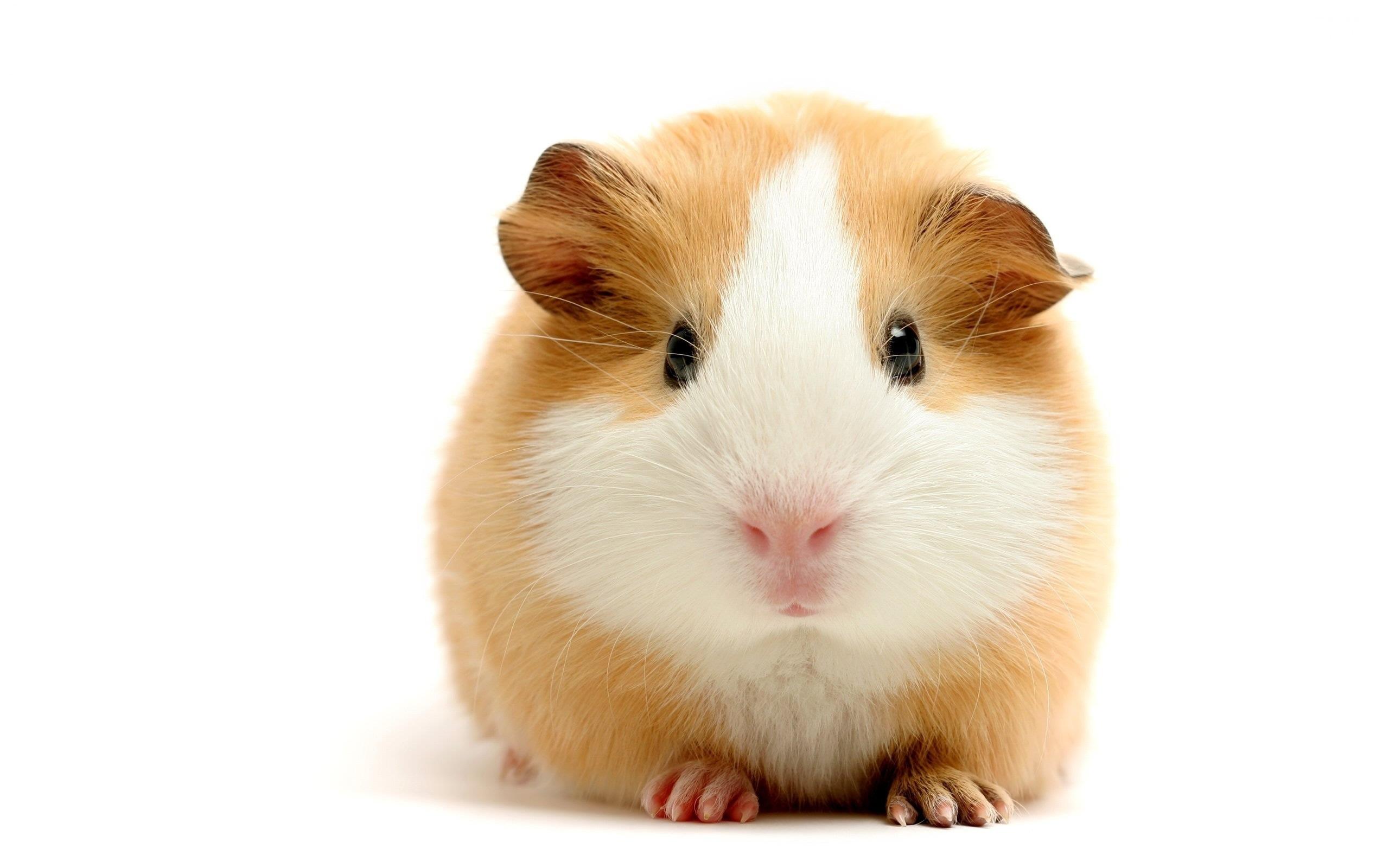 Coloriage hamster imprimer - Hamster gratuit ...