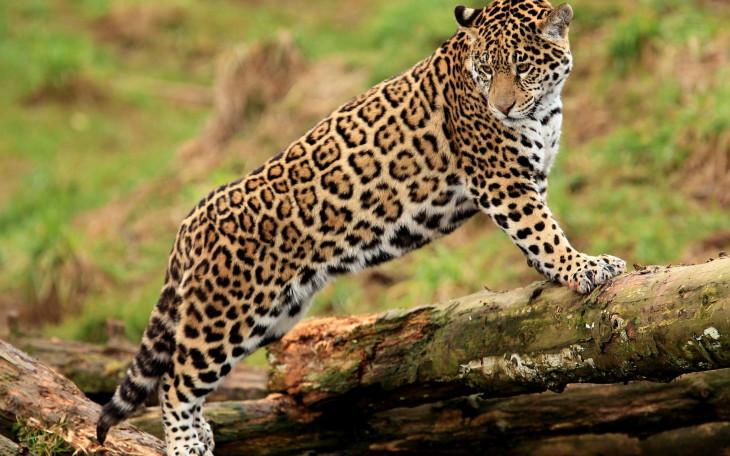 Jaguar fond