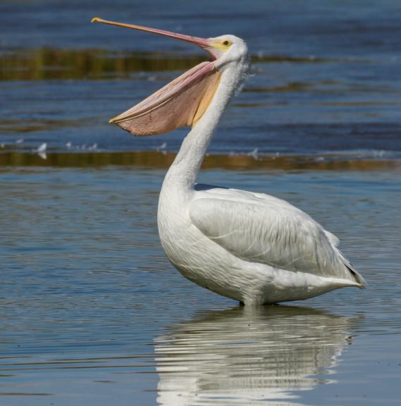 Pelican dans l'eau