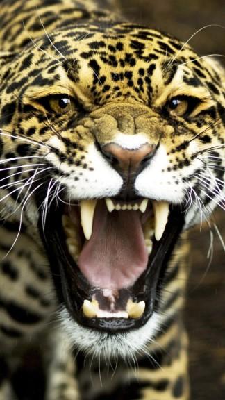 Tête du Jaguar