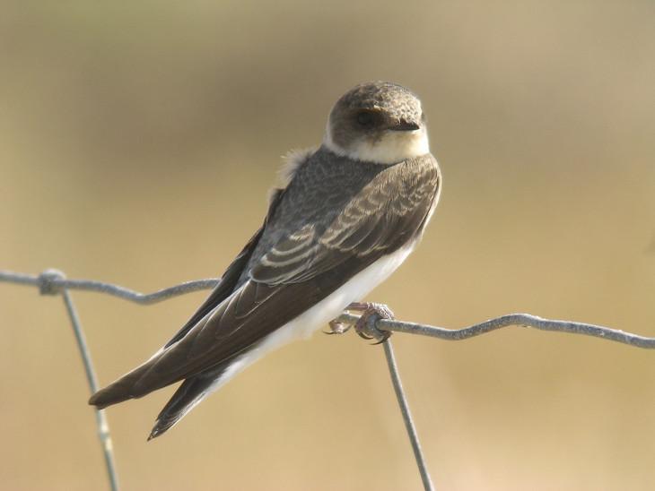 Hirondelle oiseau