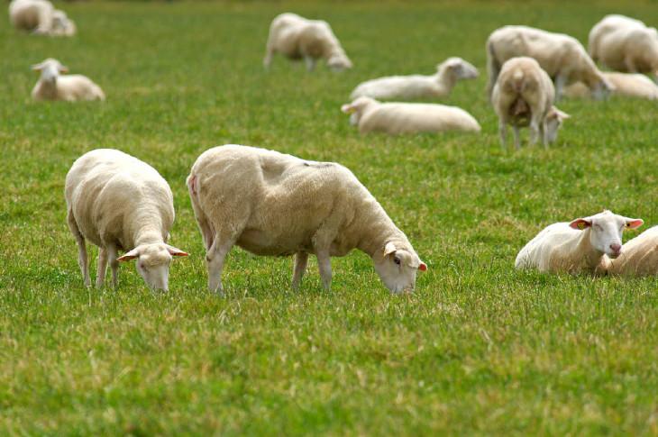 Mouton animal