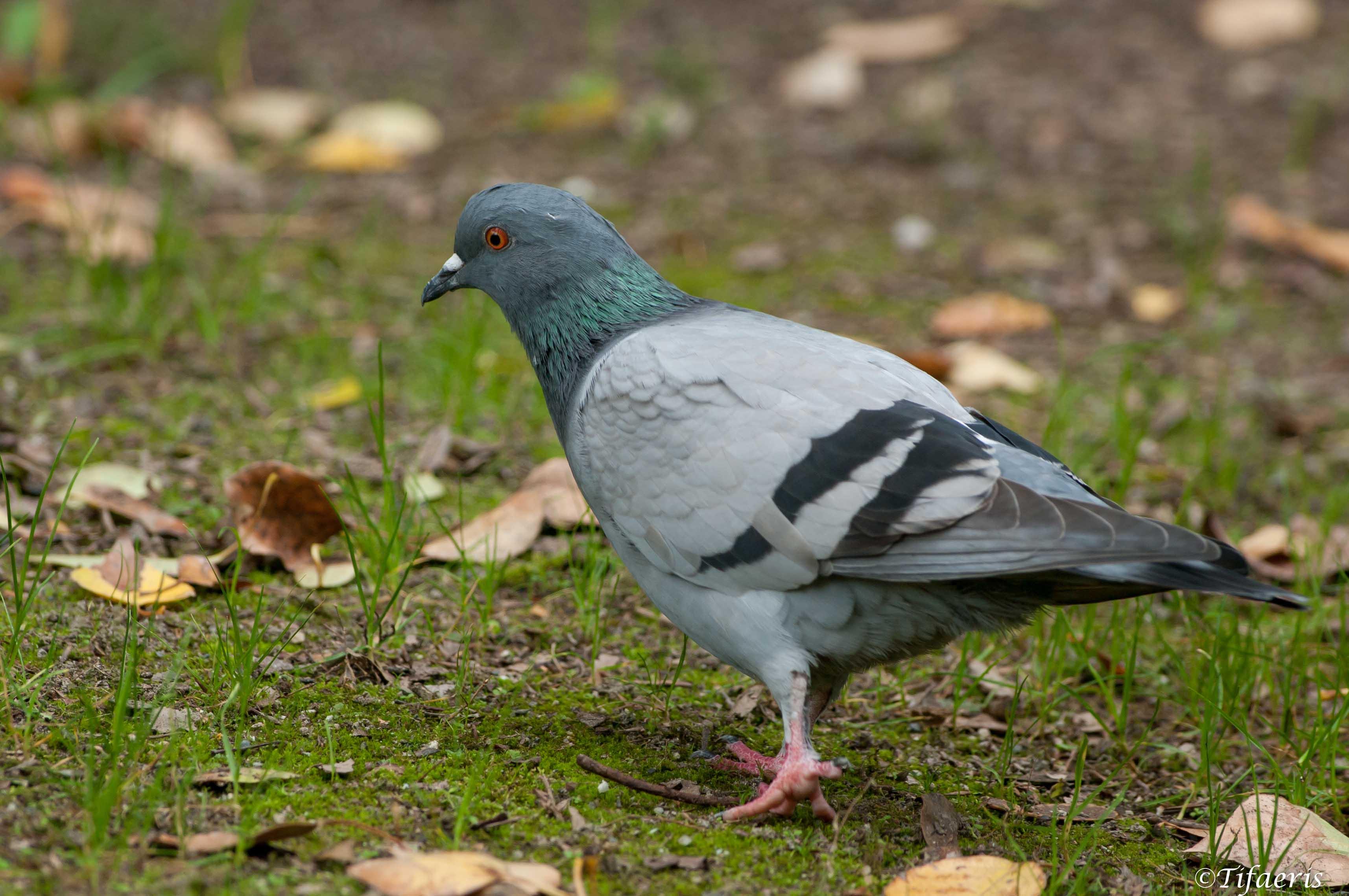 Coloriage Le Chien Et Le Pigeon.Coloriage Pigeon Gratuit A Imprimer
