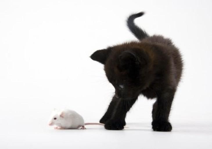 Chat contre souris