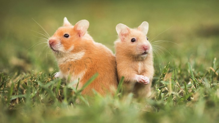 Hamster fond